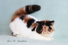 Bella Mia Cattery of Exotic Shorthair and Persian Cats - GC San-Fe Josephina of Bella Mia