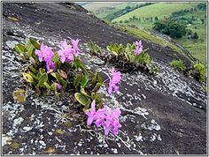cattleya walkeriana growing on bare rock - Minas Gerais, Brazil