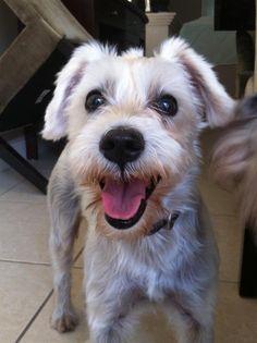 helping lost pets   dog   schnauzer miniature   reunited please spread the word  princess was last seen in miami fl 33196      rh   pinterest