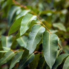 Eucalyptus-leaves.jpg (Изображение JPEG, 1500×1500 пикселов) - Масштабированное (61%)