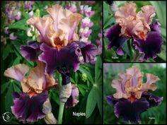 NAPLES tall bearded iris