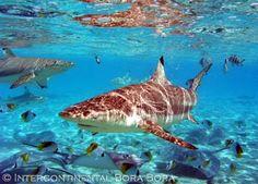 Intercontinental Bora Bora! I wanna swim with the sharks!!!