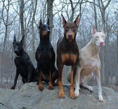 "Doberman Pinscher color and markings. Allowed Colors: Black, red, blue, and fawn. Markings: Rust, sharply defined, appearing above each eye and on muzzle, throat and forechest, on all legs and feet, and below tail. White patch on chest, not exceeding ½ square inch, permissible. Besides the more common color's seen in the Doberman—Black & Rust and Red & Rust—there are the""DILUTES"" of these two colors—Blue is a ""dilute"" of Black—Fawn is a ""dilute"" of Red."