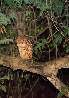 Pel's Fishing Owl taken on Luvuvhu Bridge while staying at Pafuri camp Lion Images, Night Photography, Wildlife Photography, Kruger National Park, National Parks, Cool Pictures, Cool Photos, Male Lion, Animales