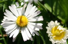 Gänseblümchen: Kleine Pflanze mit großer Wirkung