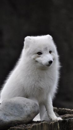 Arctic Fox   Cutest Paw