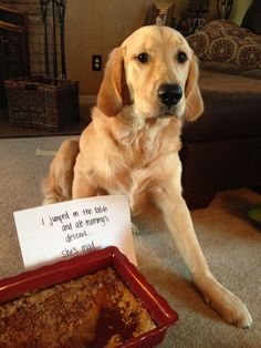 I jumped on the table and ate Mommys dessert. Shes MAD. ~ Dog Shaming shame - Golden Retriever - I left some for her! Animal Memes, Funny Animals, Cute Animals, Animal Funnies, Dog Shaming Photos, Cat Shaming, Cute Funny Dogs, Dog Rules, Dog Signs