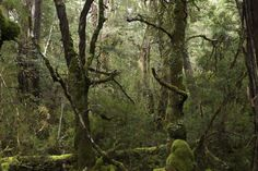King Billy Pine forest in the rain, Cradle Mountain nNational Park.