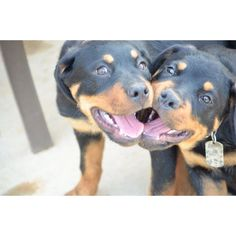 Rottweilers!   Gentle giants!