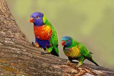 Rainbow Lorikeets (Trichoglossus haematodus), by Graeme Guy