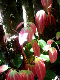 New Cinnamon leaves on old trunk. Mare au Cochons Nature Trail, Mahe, Seychelles