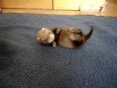 """theempathogen: """"23 seconds of a wriggling baby ferret. Which is too short a time to watch these wonderful animals. """""""