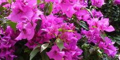 Cómo cultivar bugambilia en nuestro jardín o huerto