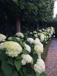 garden care backyards Cool 32 Elegant Hydrangeas Landscaping Design Ideas To Inspire You Now. Hydrangea Landscaping, Front Yard Landscaping Design, Backyard Inspiration, Shade Garden, Back Gardens, Outdoor Gardens, Hedges, Garden Planning, Landscaping Plants