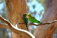 Budgerigars Australia | Flickr - Photo Sharing!