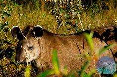 Anta / Tapirus terrestris