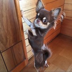 Cute Chihuahua, Teacup Chihuahua, Chihuahua Puppies, Yorkie, Cute Baby Animals, Funny Animals, Puppies And Kitties, Raining Cats And Dogs, Softies