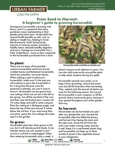 Backyard Vegetable Gardens, Greenhouse Gardening, Herb Garden, Garden Landscaping, Horseradish Plant, Growing Horseradish, Growing Vegetables, Growing Plants, Pergola Planter