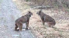 'Really bizarre' encounter between 2 wild, shrieking lynx caught on video | CBC News