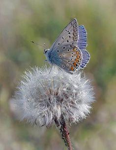 Blue Butterfly - by Garik Sokolov