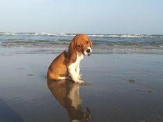 Sweet beach beagle pup