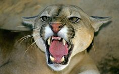 puma_mountain_lion_2810287k.jpg (858×536)