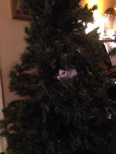 After putting up the decorations yesterday we found our new kitten asleep in the Christmas tree this morning