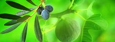 """Tu B'Shevat, the of Shevat on the Jewish calendar, is the day that marks the beginning of a """"new year"""" for trees. Holiday Bulletin Boards, Jewish Calendar, Book Making, Plant Leaves, Things To Come, Festivals, Israel, Father, Trees"""