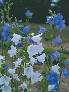 Campanula PEACH-LEAF BELLFLOWER: spring to late summer (4 weeks bloom) . Taller, with very large sky blue bells