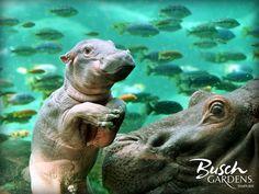 Baby Hippo at Busch Gardens!