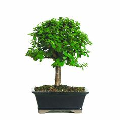 Bonsai Trees For Sale, Bonsai Tree Care, Bonsai Tree Types, Indoor Bonsai Tree, Indoor Plants, Indoor Outdoor, Indoor Garden, Outdoor Living, Garden Trees