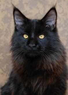 Maine Coon -gorgeous black