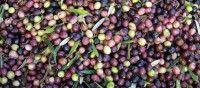 Oleada de robos de Aceituna en la campaña de recogida en Bonares