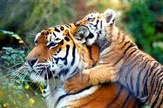 tiger에 대한 이미지 검색결과