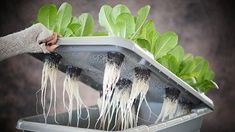 """hydroponic gardening"" - In commercial and home applications, hydroponic gardening has proven itself a valuable way to conserve space and water when growing plants. This ul... #HomeHydroponics #AquaponicsandHydroponics #hydroponicgardens"