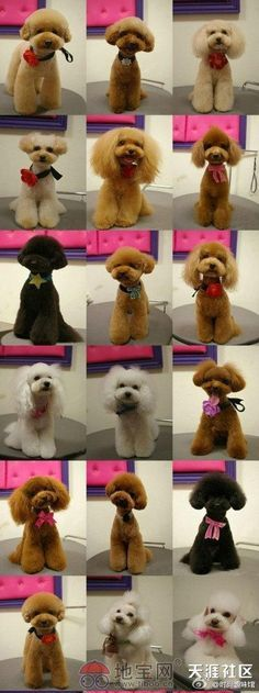 Ideas For Dogs Grooming Styles Toy Poodles Dog Grooming Styles, Dog Grooming Tips, Poodle Grooming, Grooming Salon, Cortes Poodle, Mini Poodles, Toy Poodles, French Poodles, Standard Poodles