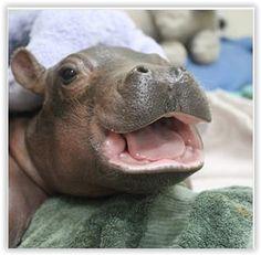 baby hippo FIONA cincinnati zoo love you