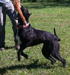 Incredible Bandog Psyche out of Midgard Kennel. One of the few who use Dane in their program. American Bandogge Mastiff, Big Dogs, The Incredibles, Funny, Cute, Animals, Skull, Dogs, Animales