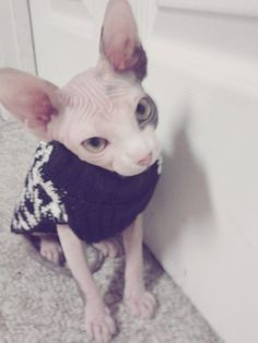 I've officially decided that I find hairless cats adorable! Such an adorable sphynx cat!