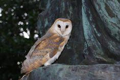 Free Image on Pixabay - Barn Owl, Owl, Wildlife, Nature Free Pictures, Free Images, Wildlife Nature, Layout Inspiration, Owl, Barn, Hedwig, Animals, Templates