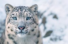 Snow leopards, among the most elusive cats in the world, are losing their habitats as forests move up the slopes in the warming Himalayas. (Photo by Tim Flach) via @AOL_Lifestyle Read more: https://www.aol.com/article/news/2017/11/15/stunning-new-photos-show-the-faces-of-animals-on-the-verge-of-extinction/23276903/?a_dgi=aolshare_pinterest#fullscreen