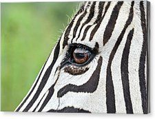 Reflection In A Zebra Eye Canvas Print by Gaelyn Olmsted available at http://fineartamerica.com/featured/reflection-in-a-zebra-eye-gaelyn-olmsted.html
