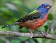 The Painted-Bunting (Passerina ciris) is a species of bird in the Cardinal family, Cardinalidae, that is native to North America. Bunting Bird, Painted Bunting, Buntings, Great Backyard Bird Count, Backyard Birds, Most Beautiful Birds, Stunningly Beautiful, Rare Birds, Exotic Birds