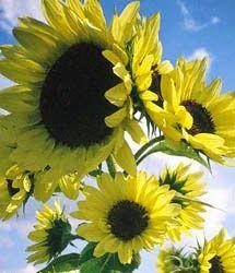 Klisaz Shop (Unique acessories and rare seeds): Jual benih/bibit/seeds Moonwalker Sunflower' unik,...