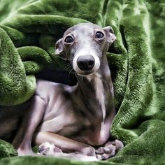 Chloe Italian Greyhound