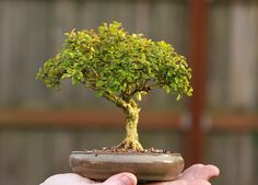 Boxwood bonsai, good indoor plant.  Also a good blog that talks about the seven stages of bonsai.