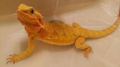 Female Bearded Dragon