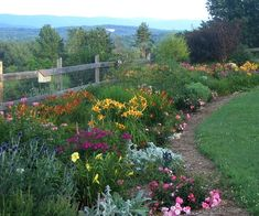 7 varieties of daylilies plus Flower Carpet roses and Volcano phlox provide a riot of color in this Vermont cottage garden