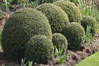 Arbres et arbustes - Planter le buis