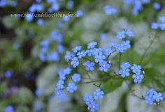 Brunnera macrophylla 'Jack Frost' grows excellently in my shade garden. Like a hosta it has beautifully detailed foliage. It also send out shoot of wonderful blue flowers in spring that remind me of forget-me-not's.